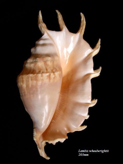 Lambis truncata sebae - (Kiener, 1843) Lambis11