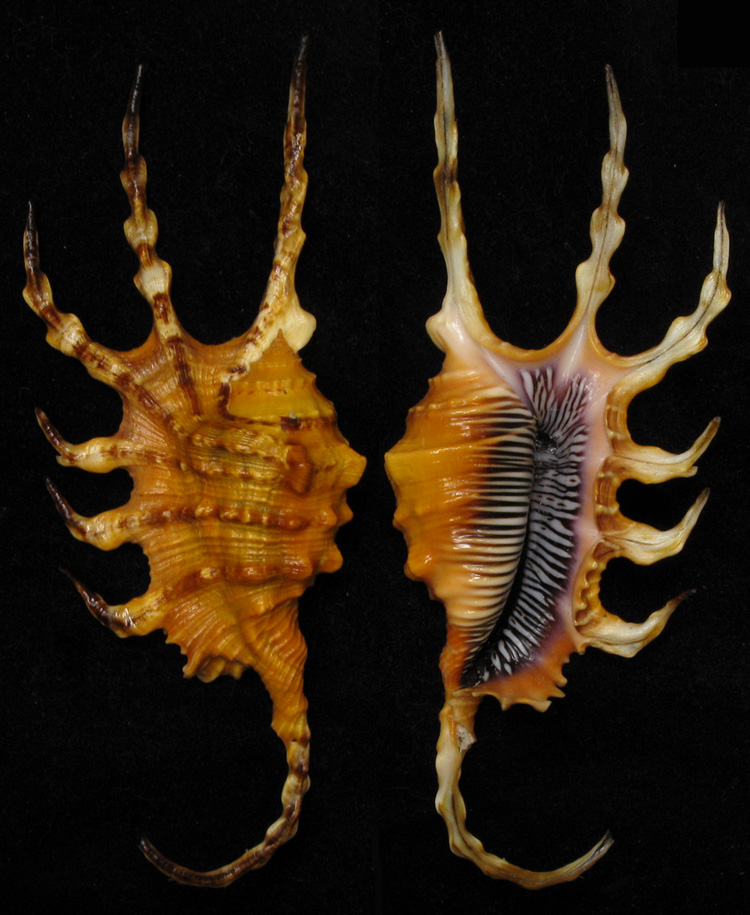 Lambis crocata - (Link, 1807) Scorpi10