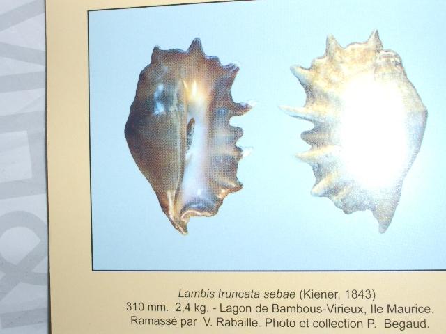 Lambis truncata sebae - (Kiener, 1843) Sebae10