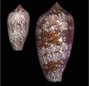 Conus (Cylinder) textile   Linnaeus, 1758 Conus_12