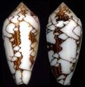 Conus (Cylinder) textile   Linnaeus, 1758 Conus_13