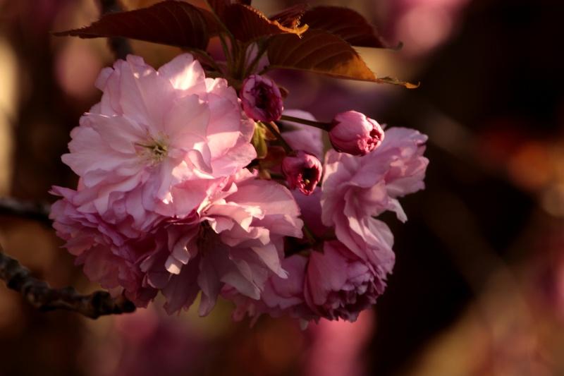 Concours du mois d'avril 2010. Thème : Les premières fleurs du printemps _mg_4711