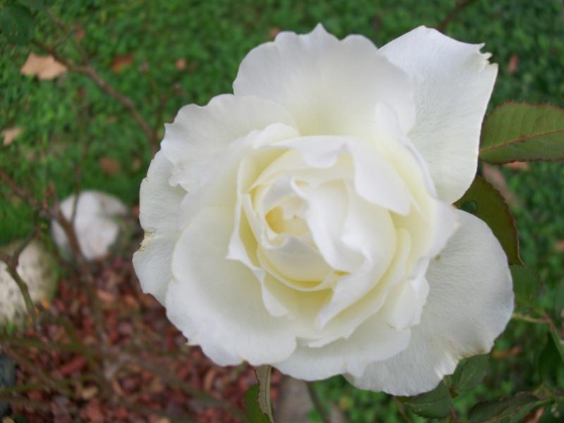 Questa rosa e la mia prima è x questo la piu adorata***** Rosa_b10