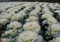 زراعة فى وسط الجليد 12647210