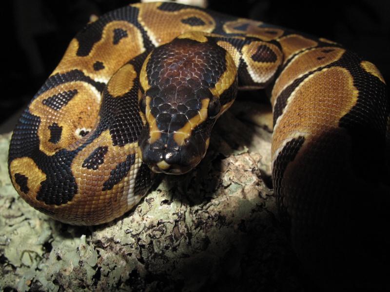 Mon Python Régius Img_0910