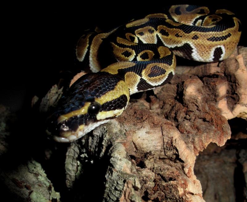 Mon Python Régius Img_0911