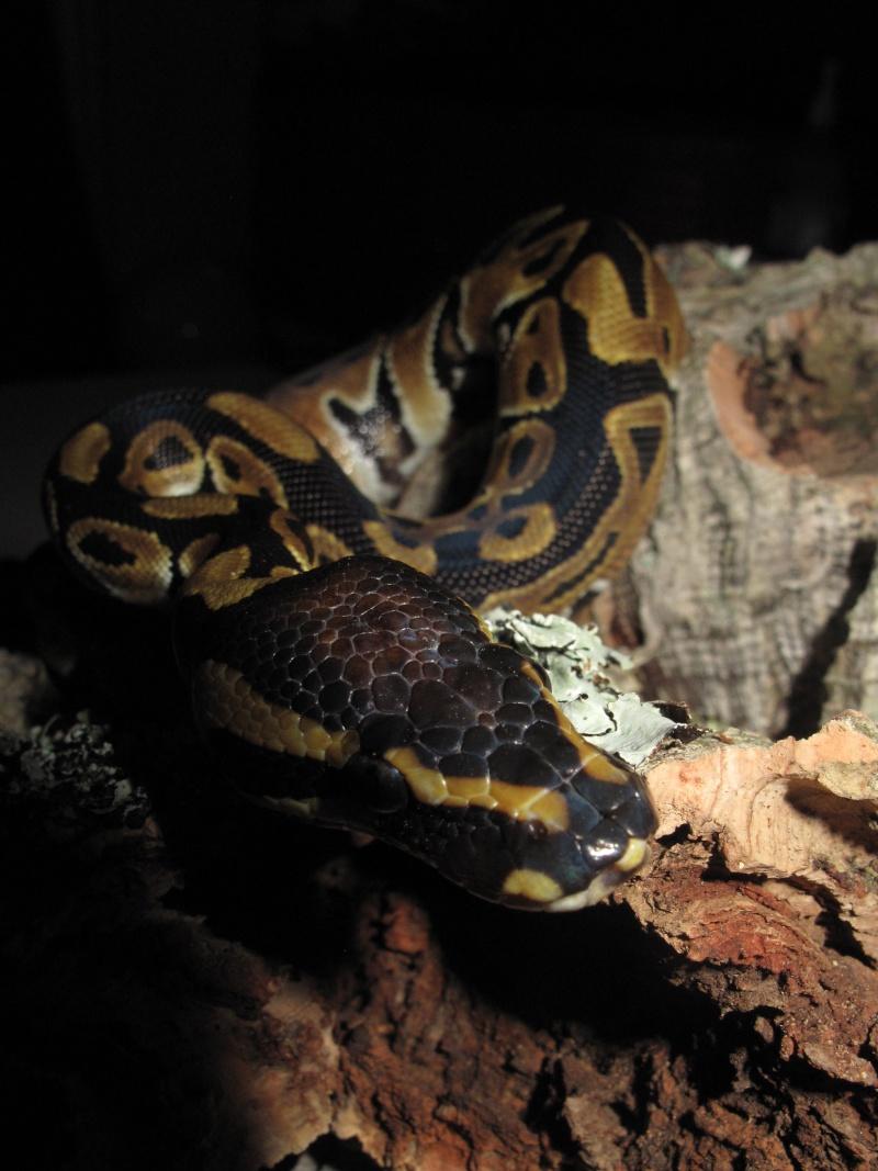 Mon Python Régius Img_0914