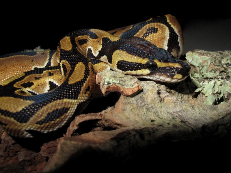Mon Python Régius Img_0915