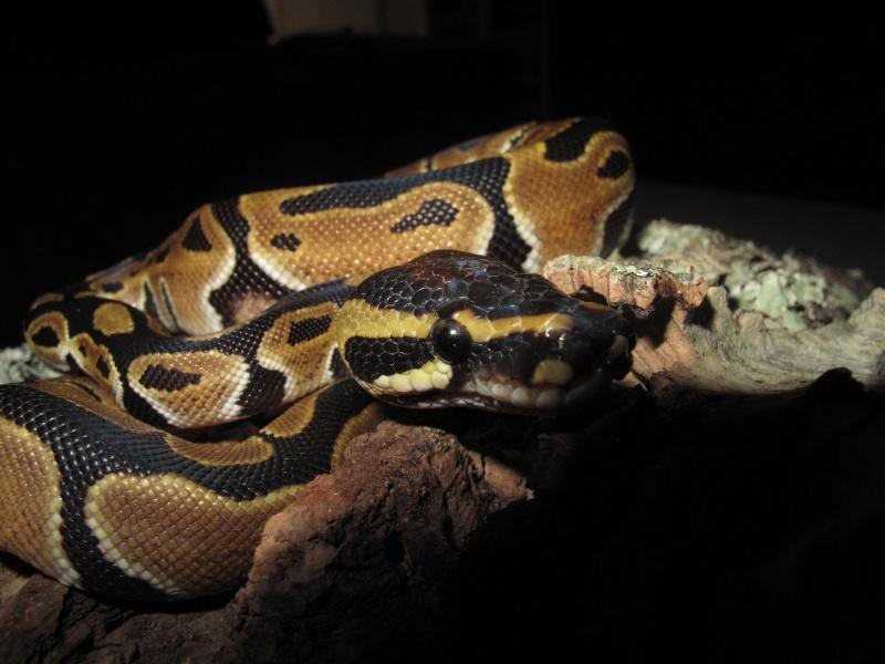 Mon Python Régius Img_0918