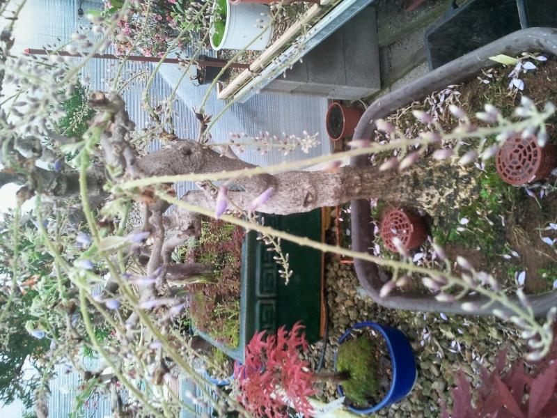 perdita fiori glicine Foto0111