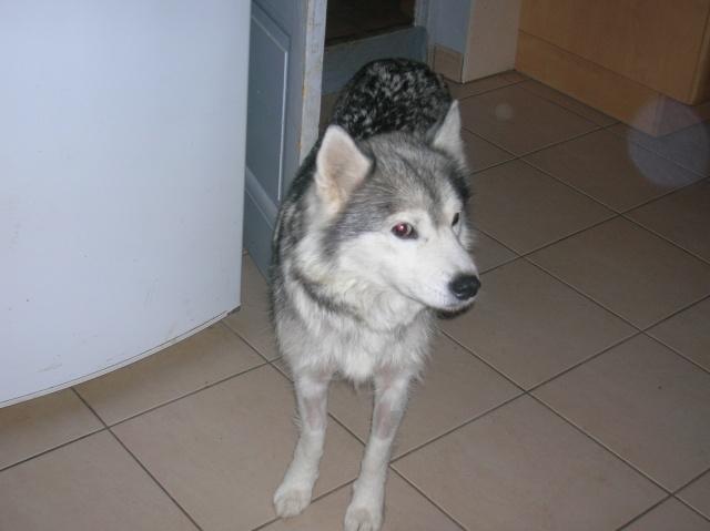 Sounde husky femelle de 7 ans ancienne maltraitée dpt 13 DECEDEE - Page 2 Dscn0420