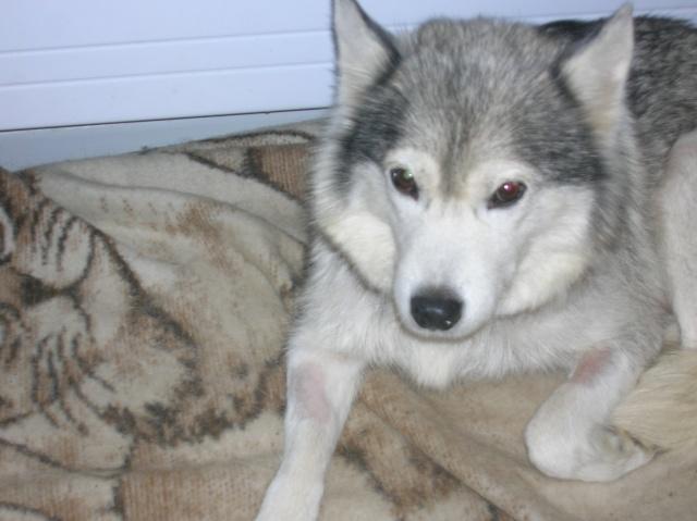 Sounde husky femelle de 7 ans ancienne maltraitée dpt 13 DECEDEE - Page 2 Dscn0512