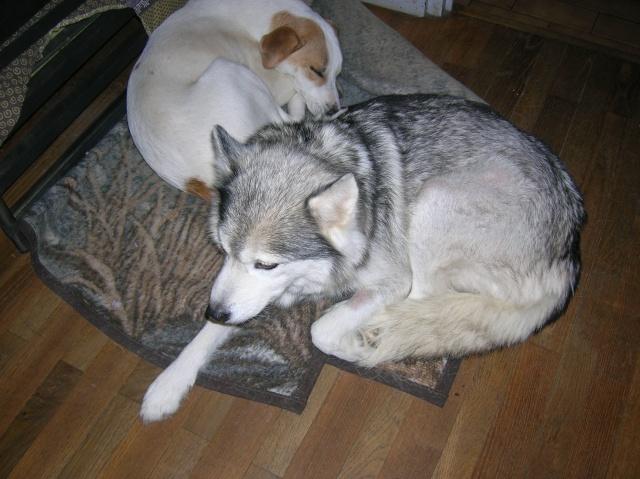 Sounde husky femelle de 7 ans ancienne maltraitée dpt 13 DECEDEE - Page 2 Dscn0513