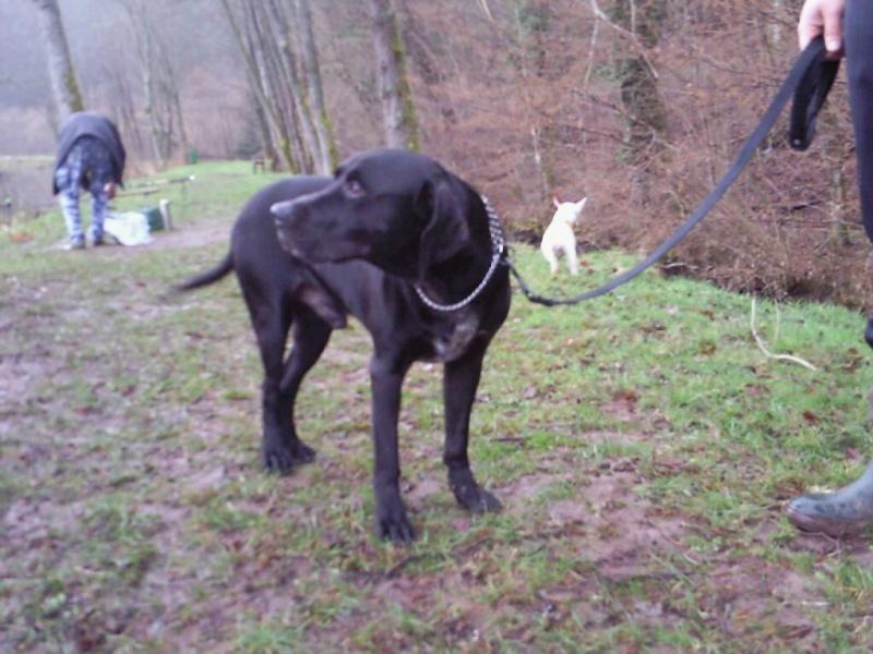 Apollo, X labrador noir de 8 ans, il cherche sa famille URGENT (67) Img_0010
