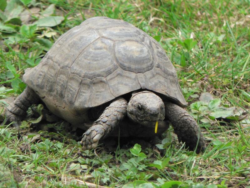 Estimation d'un âge très avancé pour une tortue et Les sutures en zig-zag. Avril_12