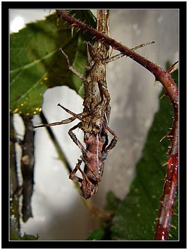 Pylaemenes guangxiensis Pylaem17