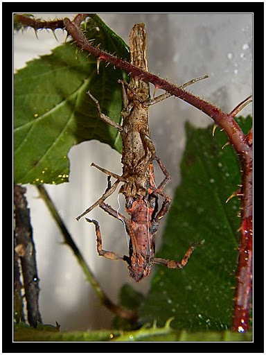 Pylaemenes guangxiensis Pylaem18