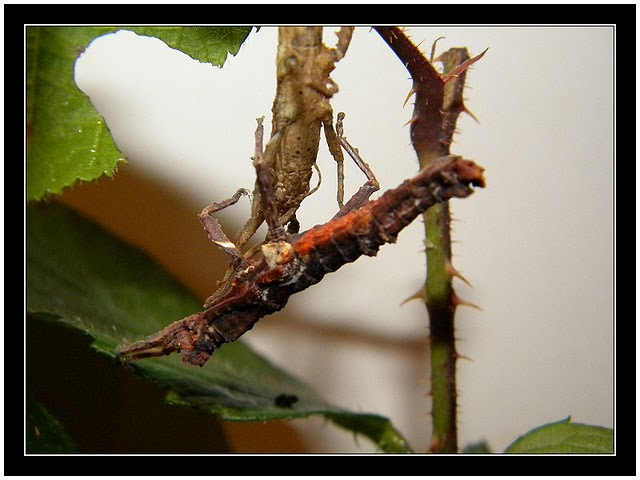 Pylaemenes guangxiensis Pylaem21