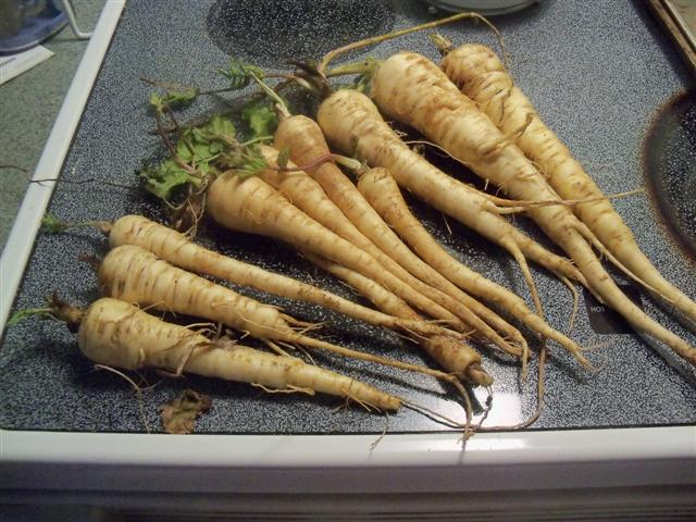 Parsnips harvested today! 04-10-10