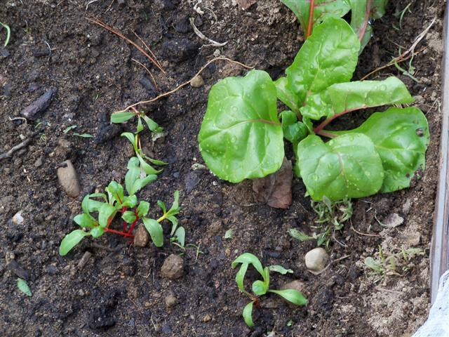 Swiss chard seeds in the ground today:  PIC! - Page 2 04-12-15