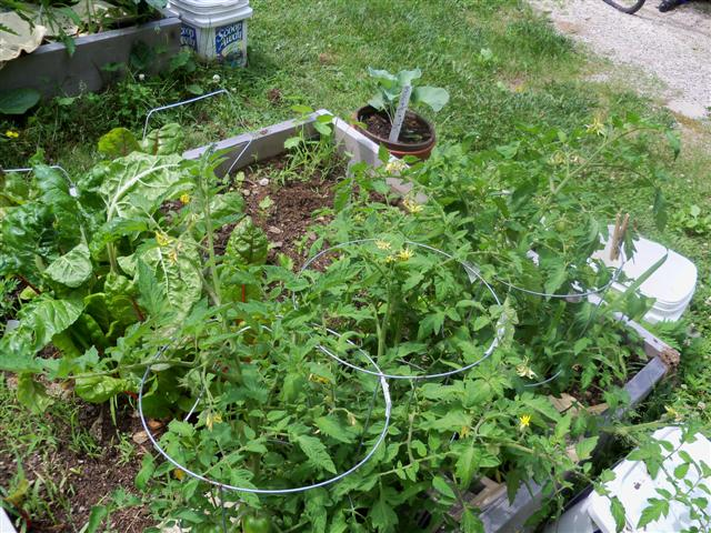 I'm stringing my tomatoes this year. 06-25-12