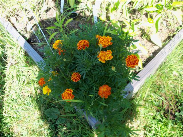 Flowers as companions 07-28-12