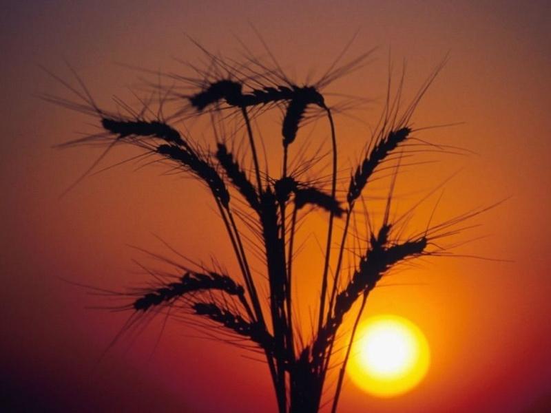 l'explication que Jésus  nous donne sur la parabole du semeur... Fleur_10