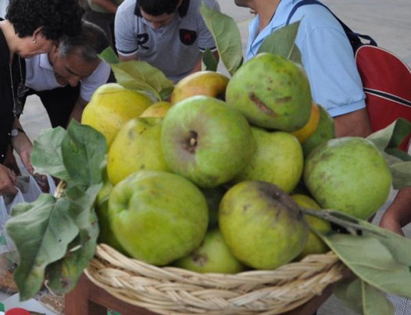 Manzanas subsisten en huertos tradicionales 8a11