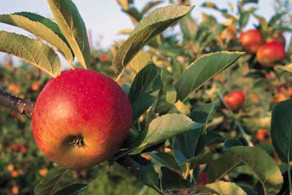 Manzanas subsisten en huertos tradicionales Manzan10