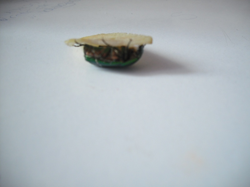 Elevage de cétoines, (aurata, pachnoda et bien d'autres) Dscf4411