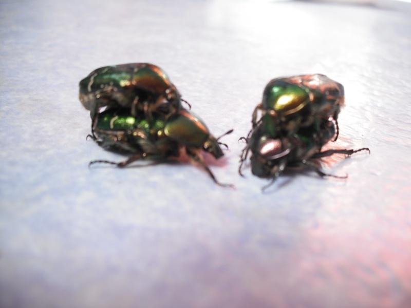 Elevage de cétoines, (aurata, pachnoda et bien d'autres) Dscf4413