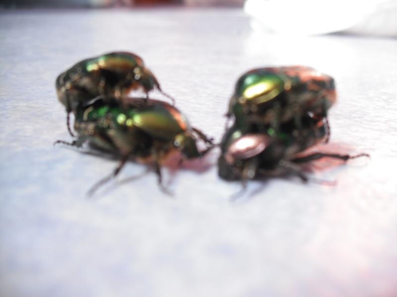 Elevage de cétoines, (aurata, pachnoda et bien d'autres) Dscf4414
