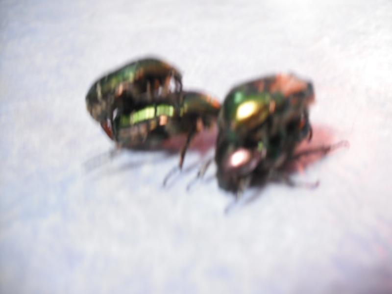 Elevage de cétoines, (aurata, pachnoda et bien d'autres) Dscf4415