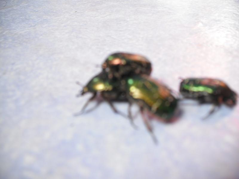 Elevage de cétoines, (aurata, pachnoda et bien d'autres) Dscf4418