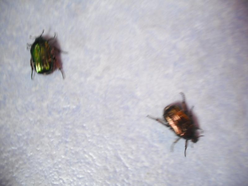 Elevage de cétoines, (aurata, pachnoda et bien d'autres) Dscf4421