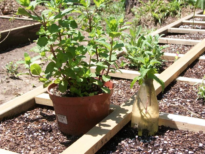 Growing mint 102_0723