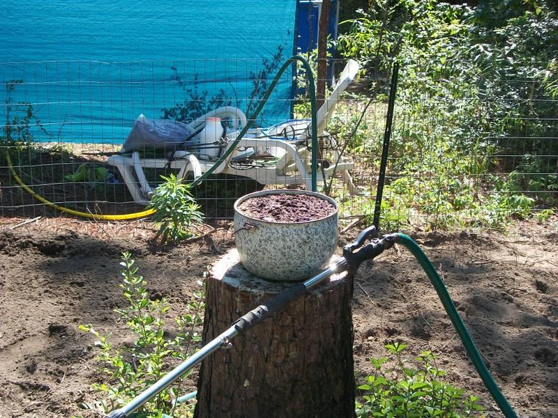 Growing mint 102_0725