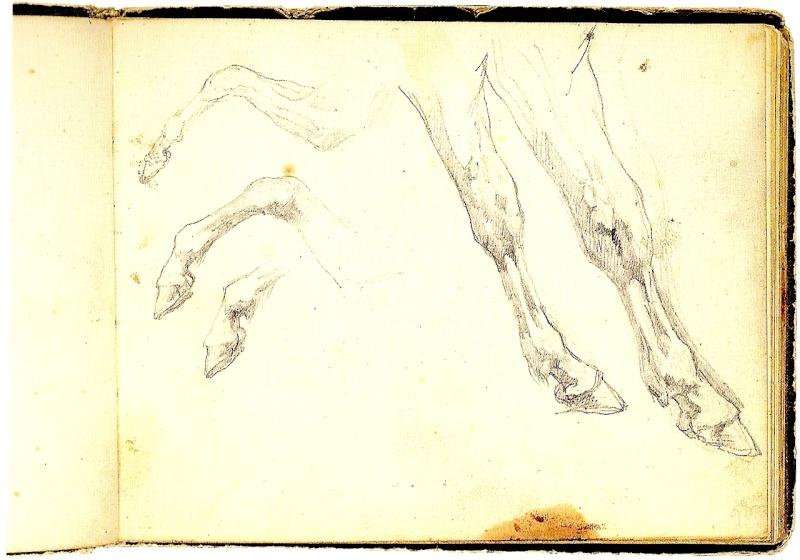 antèrieurs, postérieurs du cheval Numari17