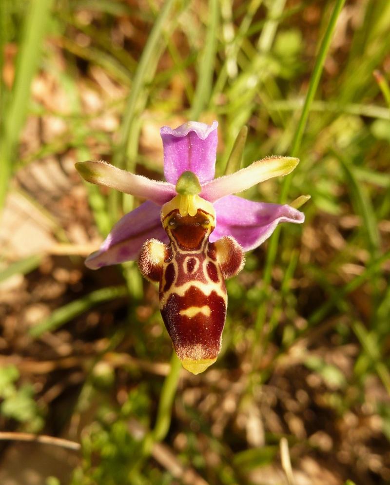 Ophrys apifera var. aurita Argell27