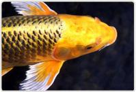 Tiankong Longwang - Dragon King Golden11