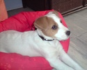 Lucky jack russel parson P2903010
