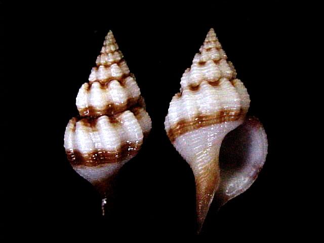 Granulifusus ou Fusinus Sp. de Nouvelle-Caledonie - Non identifié Fascio10