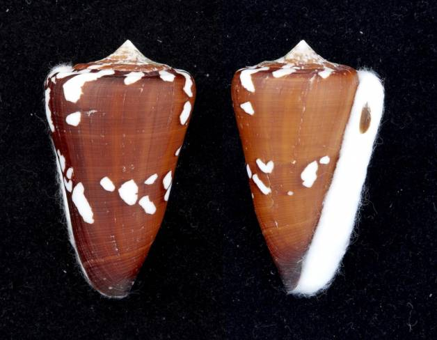Conus (Darioconus) crocatus thailandis  da Motta, 1978 I0000437