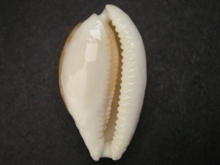 Cribrarula fallax - (E. A. Smith, 1881) I0000443