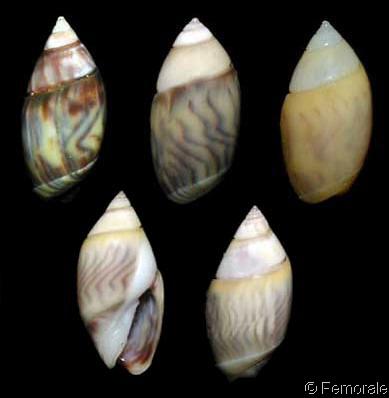 Olivella minuta - (Link, 1807) Olivel10