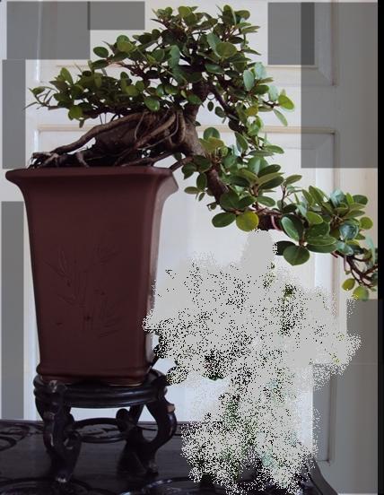 Kengai Ficus Kengai10