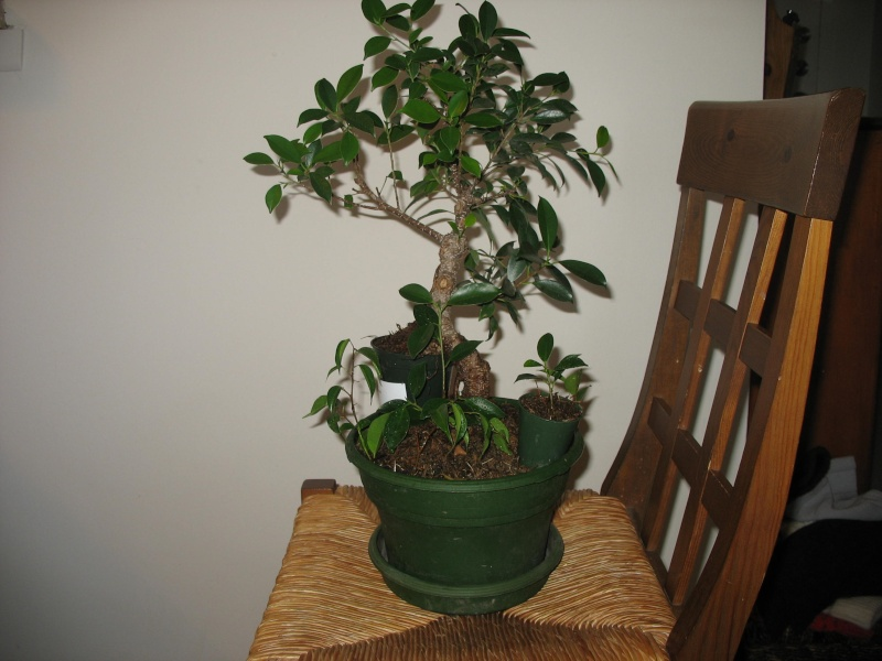 Ficus microcarpa questions... Pictur15