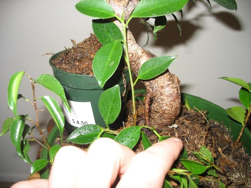 Ficus microcarpa questions... Pictur16