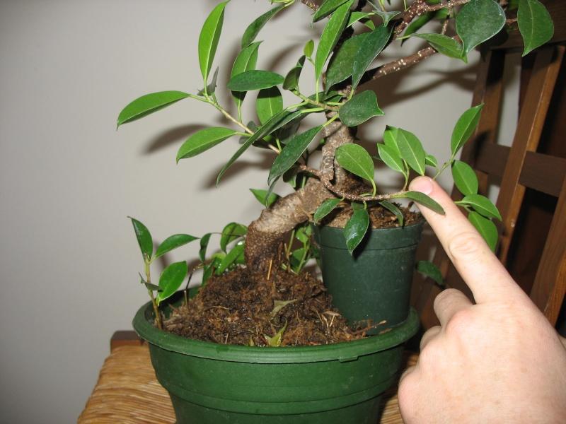 Ficus microcarpa questions... Pictur18