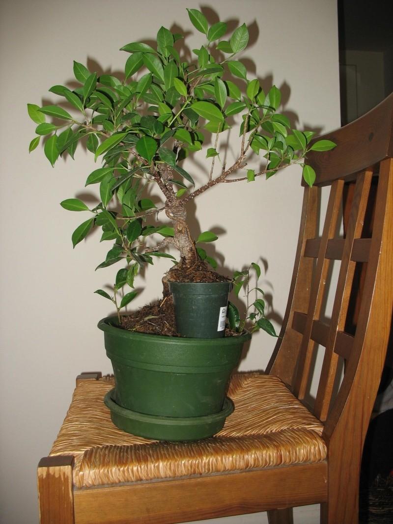 Ficus microcarpa questions... Pictur19
